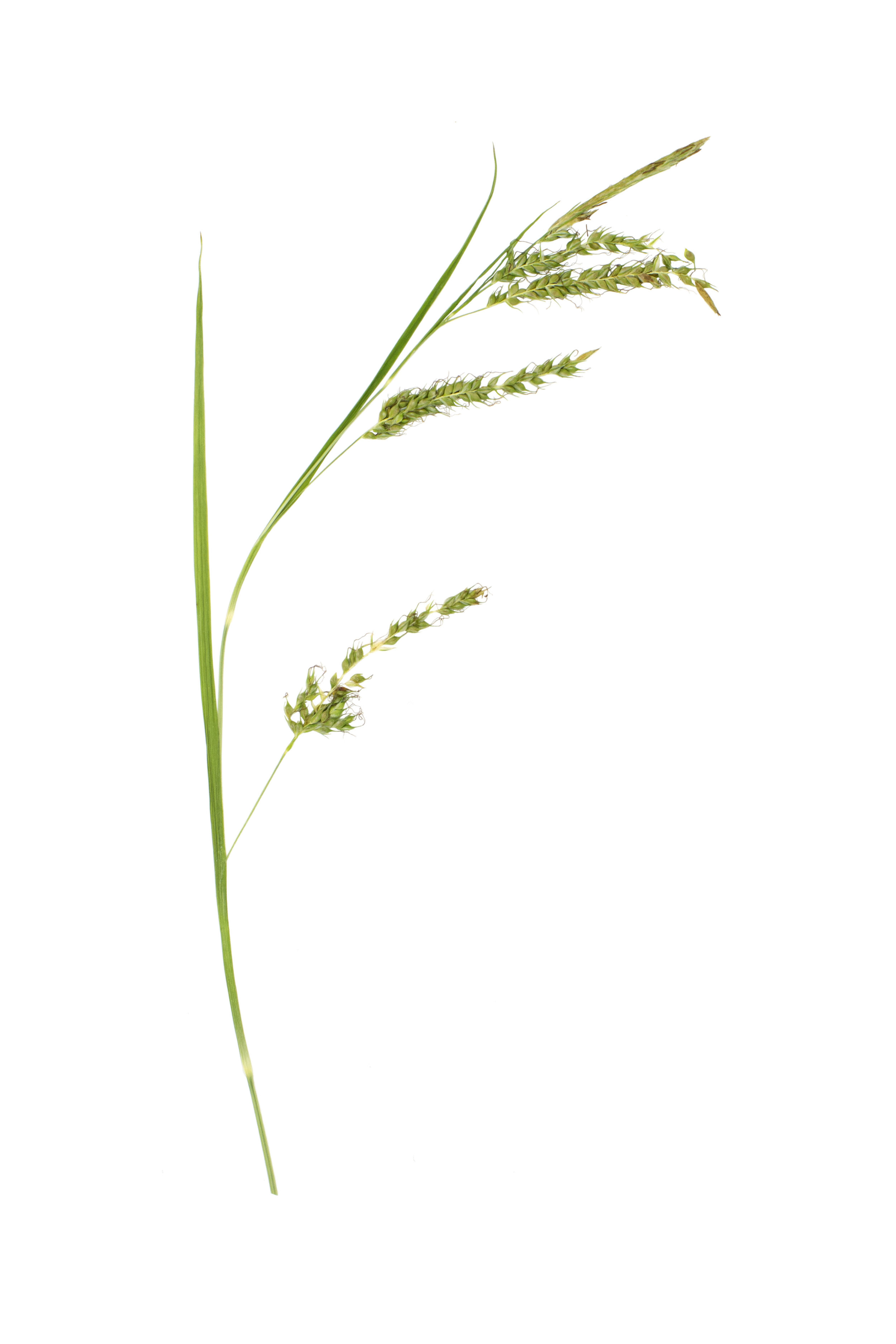 Bladder Sedge / Carex vesicaria