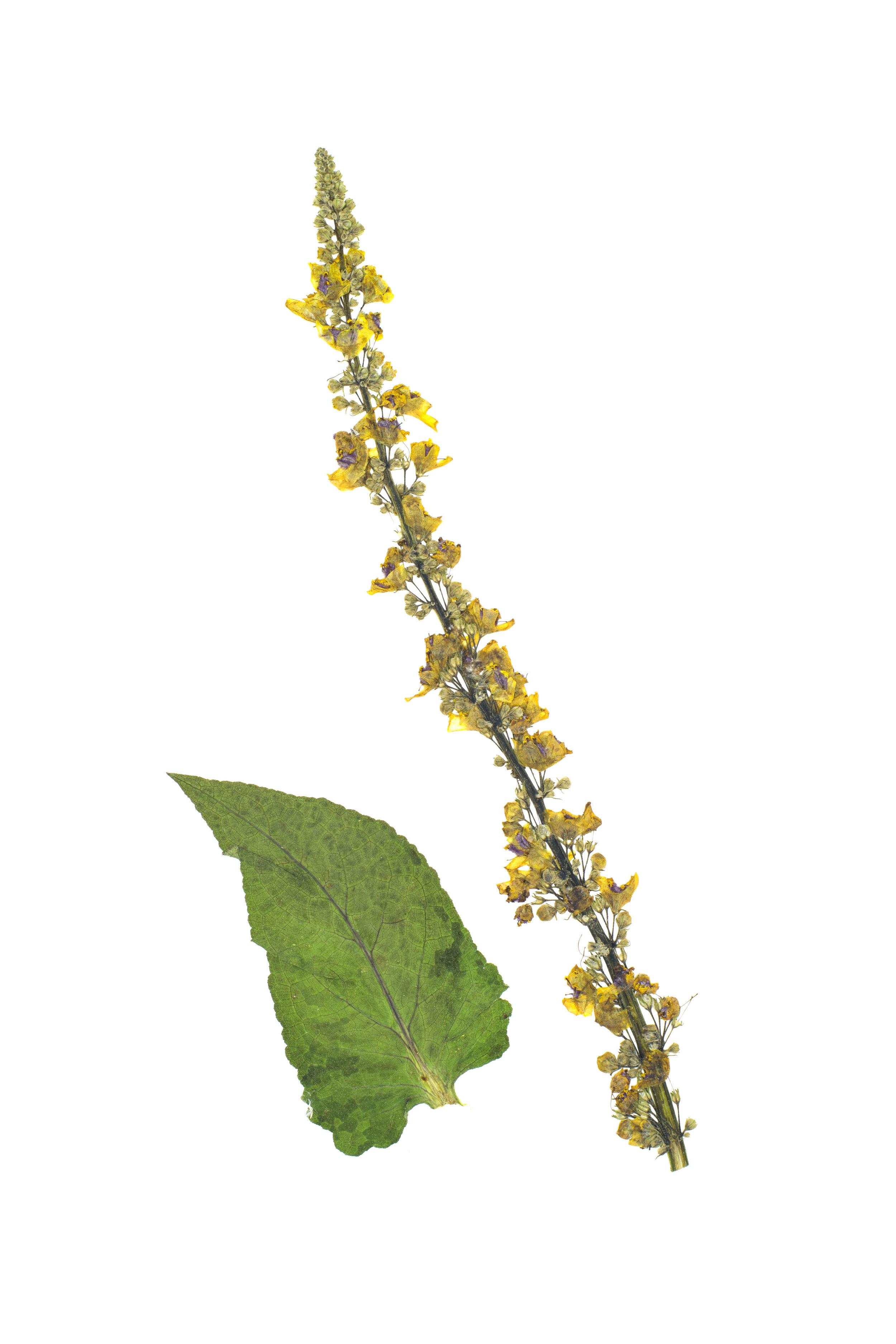 Black Mullien / Verbascum nigrum
