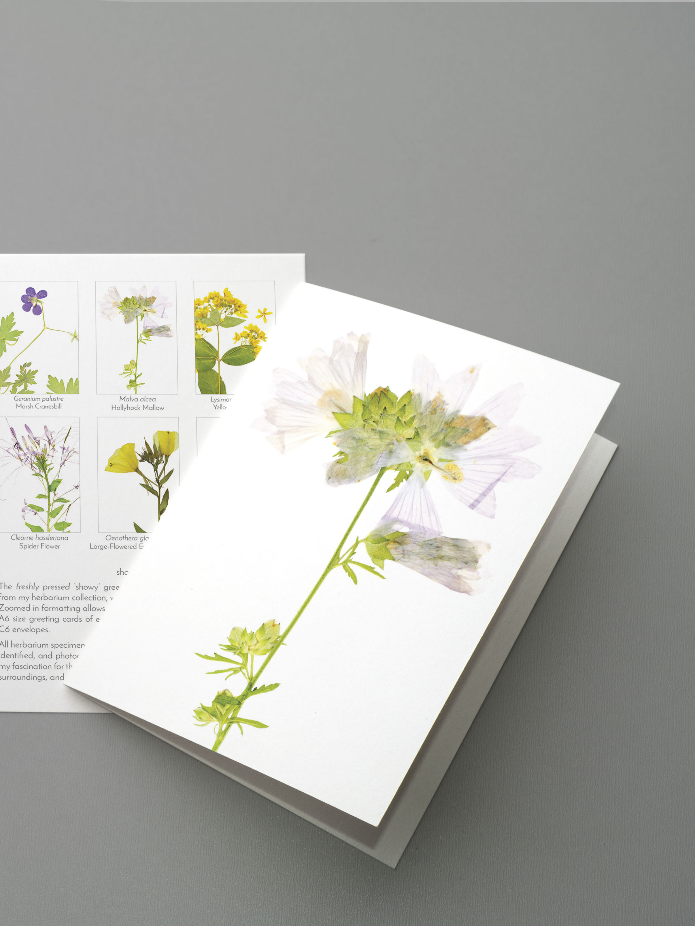 greeting cards - All-occasion greeting cards are the perfect botanical pick-me-up. Choose your favorite theme for a 12-pack of blank greeting cards, featuring selected plants from my herbarium collection and paired with elegant envelopes.