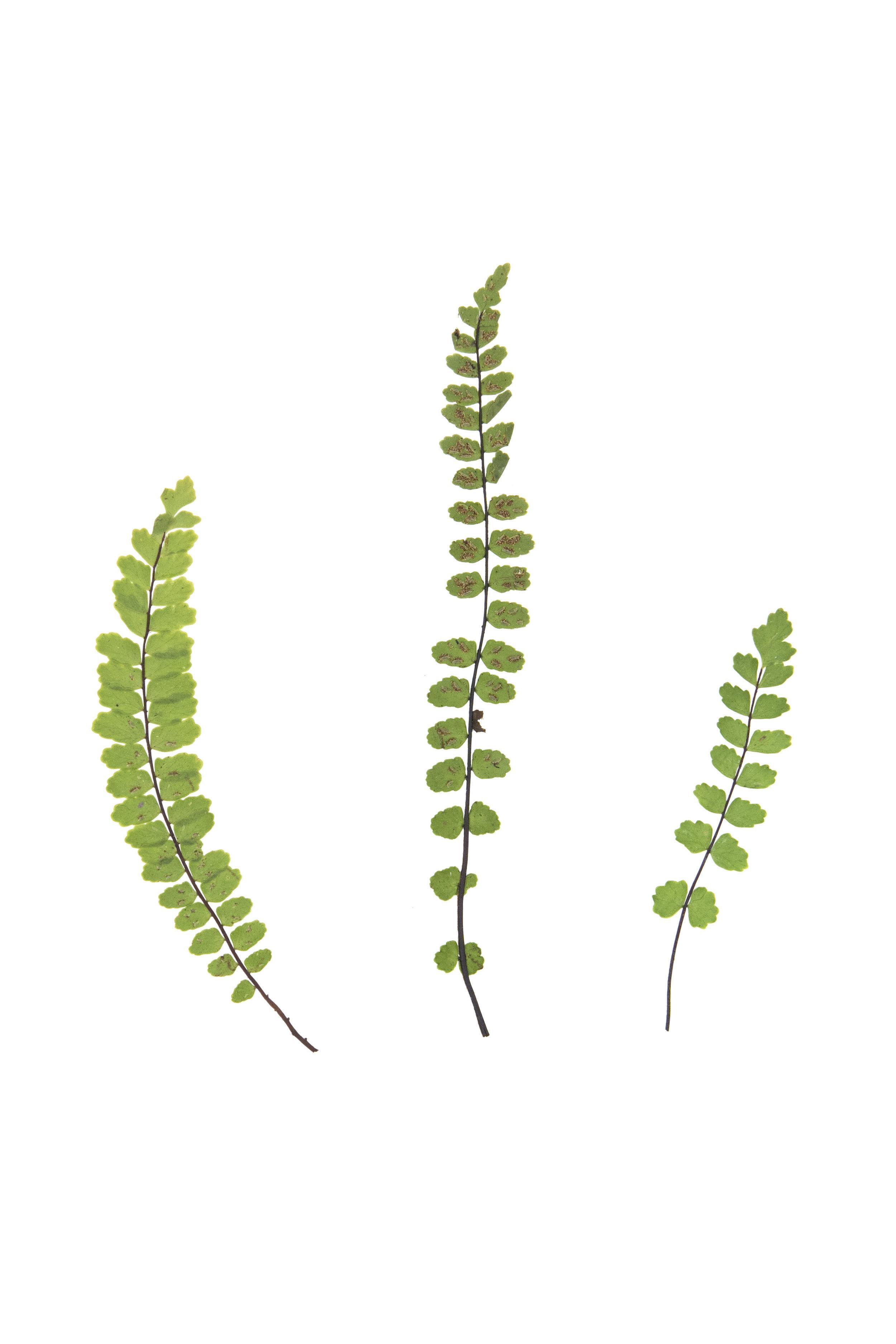 New! Maidenhair Spleenwort / Asplenium trichomanes