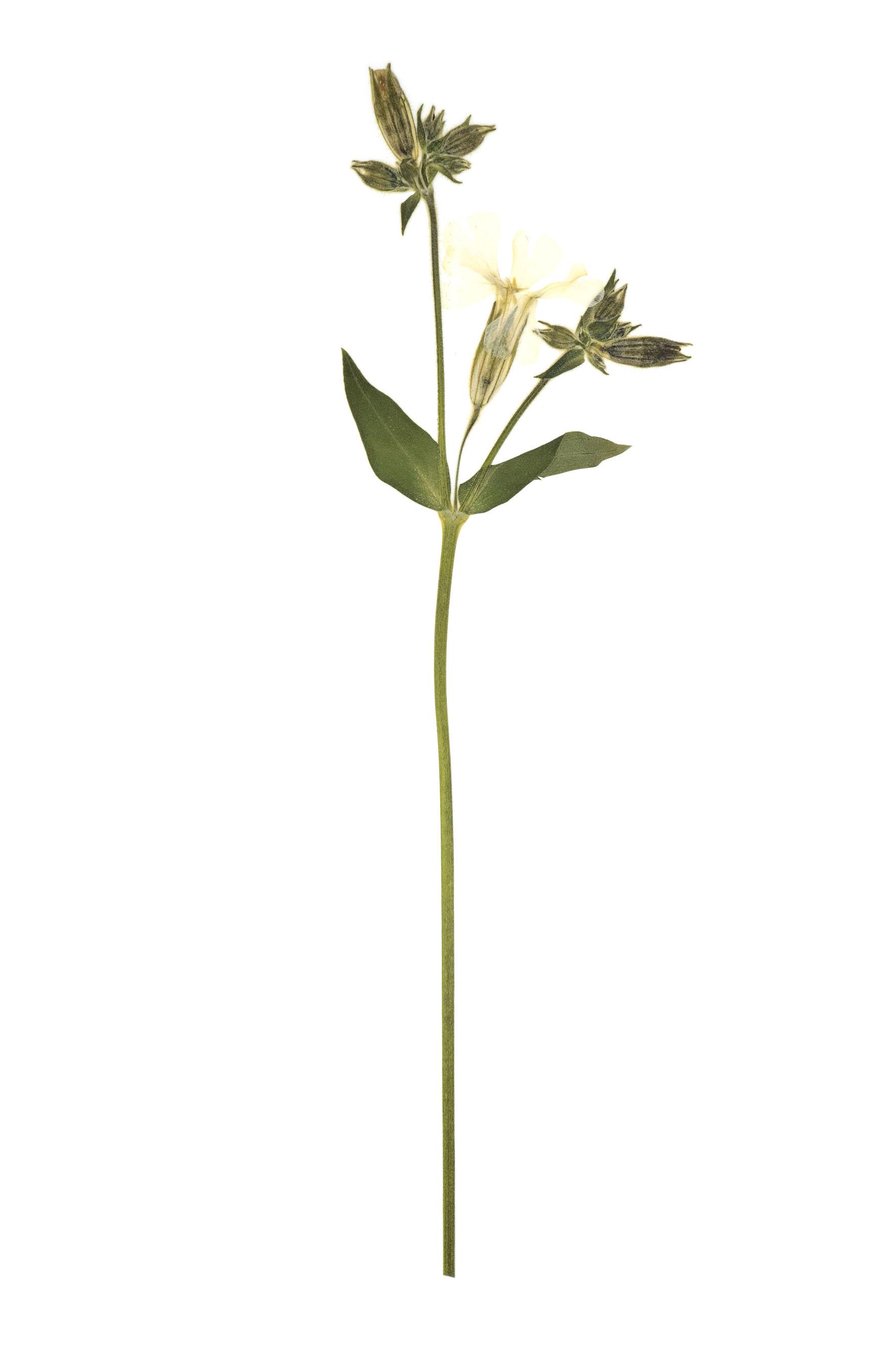 New! White Campion / Silene pratensis