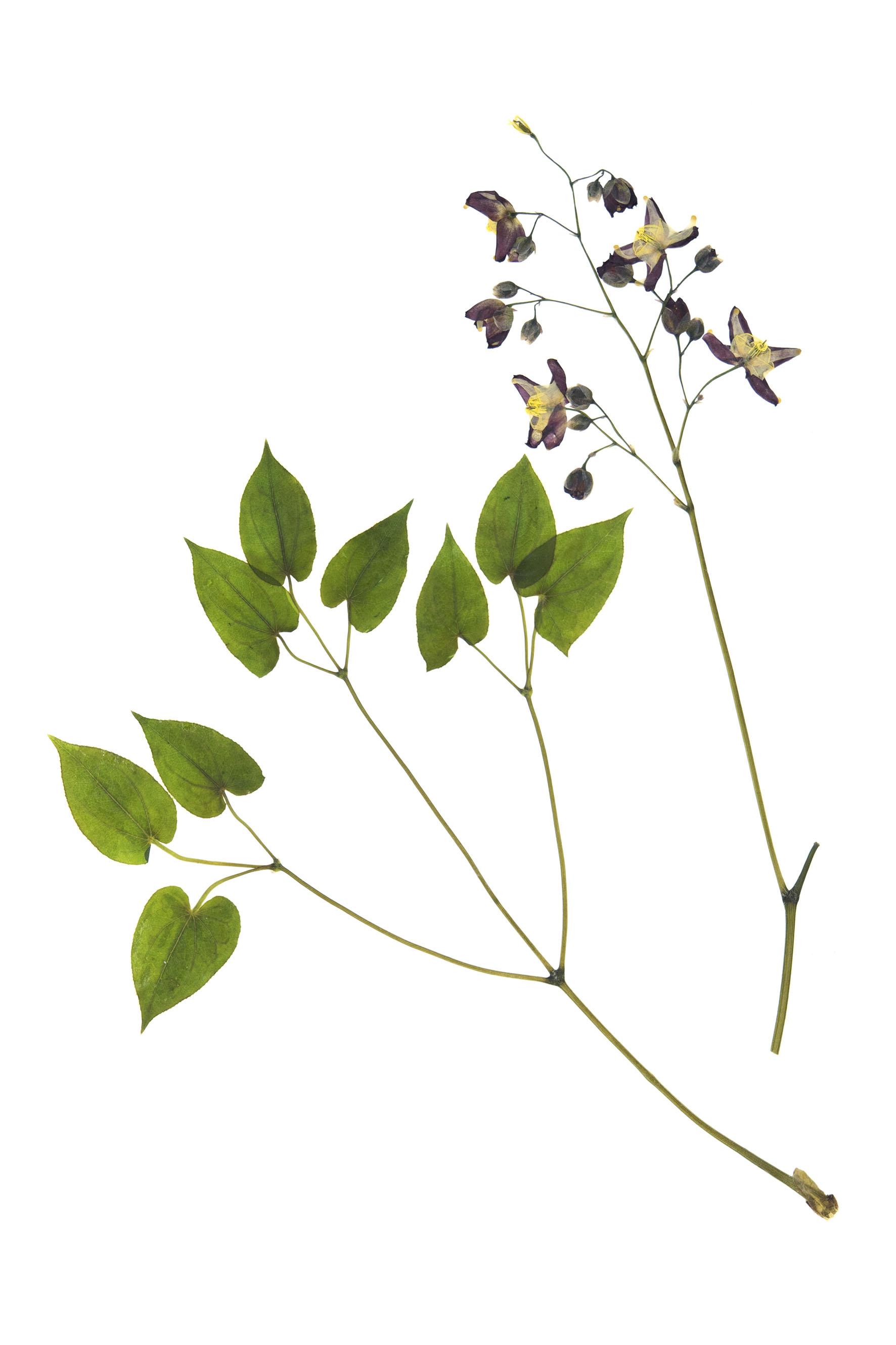 New! Epimedium alpinum / Alpine Barronwort