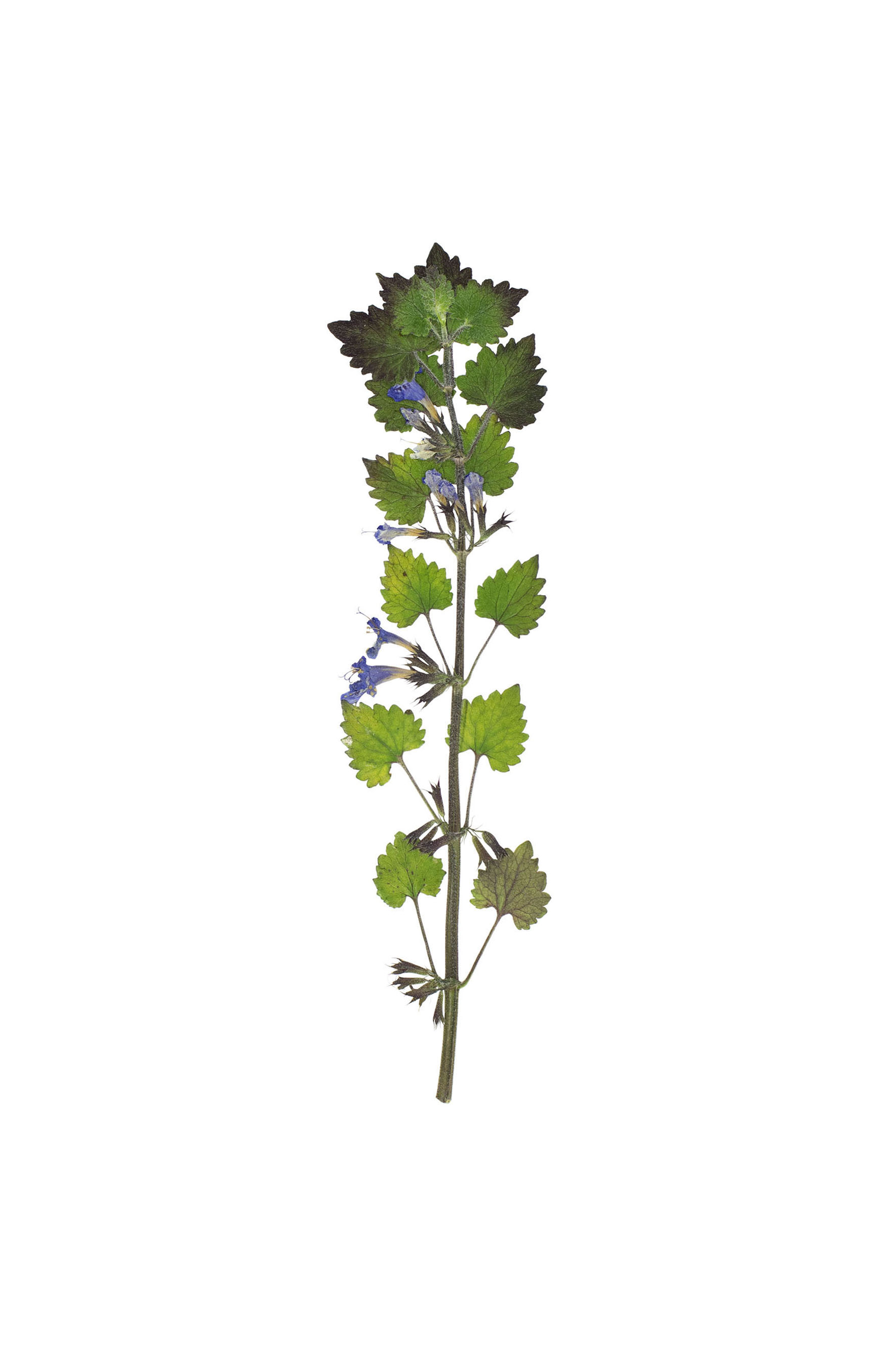New! Glechoma hederacea / Ground Ivy