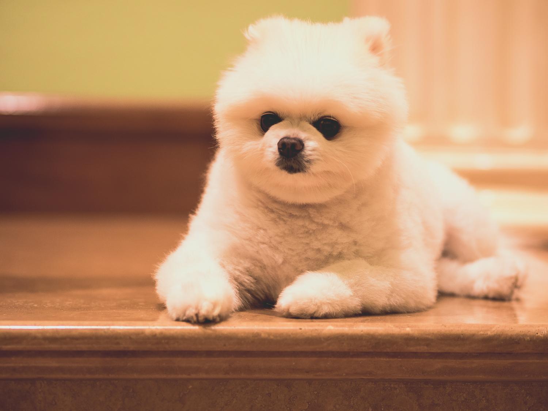 pomeranian-white-dog.jpg