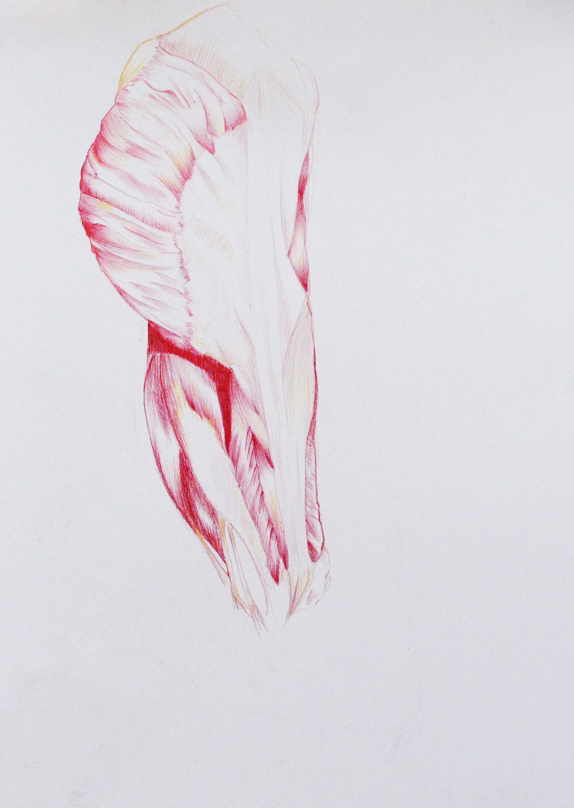 Genoveva Gómez Zeichenstifte und Kugelschreiber auf Papier 2015  Menschliche Anatomie für Künstler: Eine offene Klasse im Menschen Museum