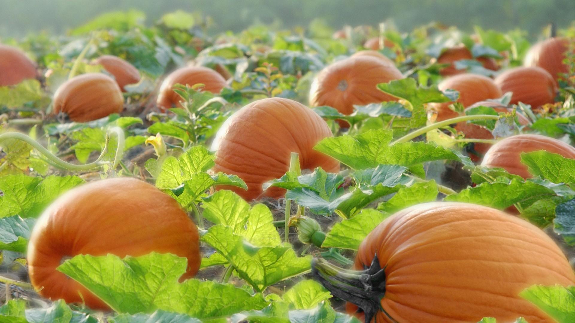 Nature___Seasons___Autumn_Pumpkin_ripens_on_the_field_043772_.jpg