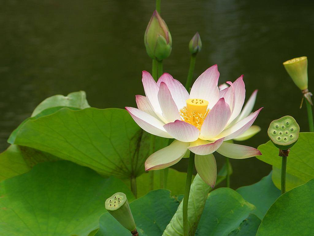Lotus Flower.jpg