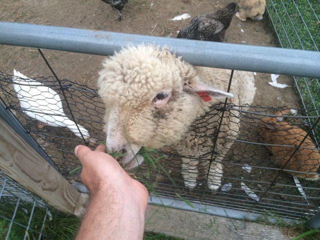 Hops, the lamb.