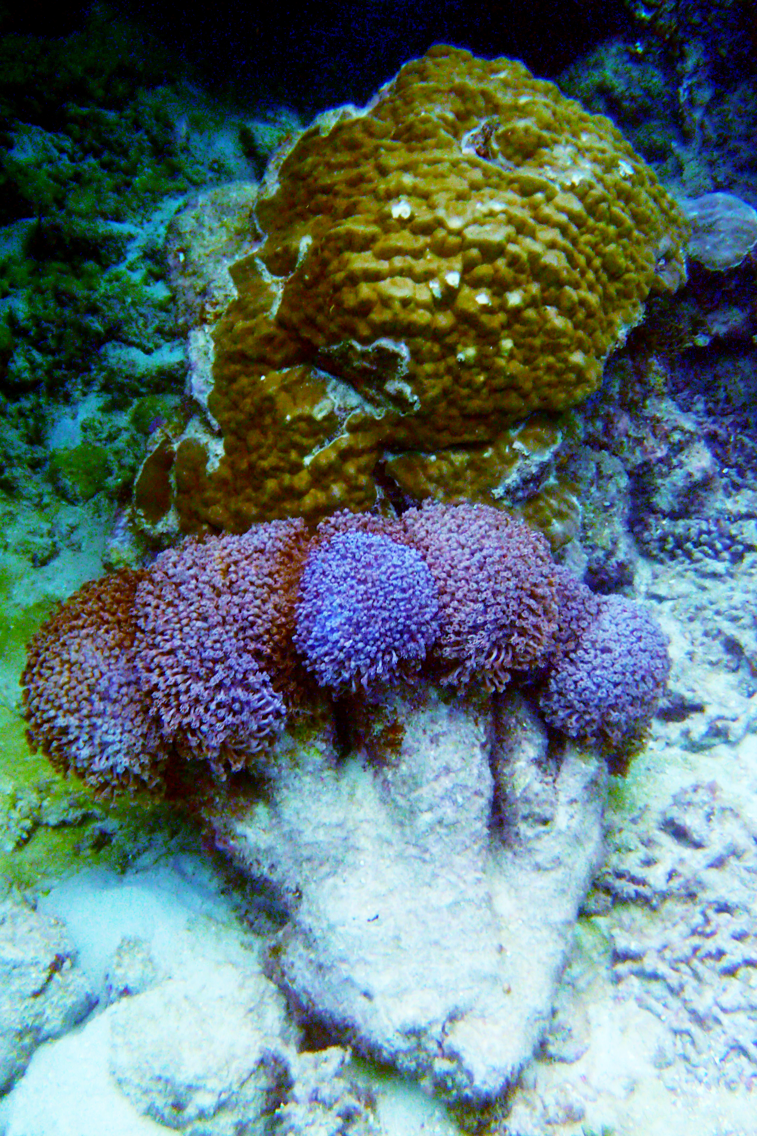 Purple flower pot coral