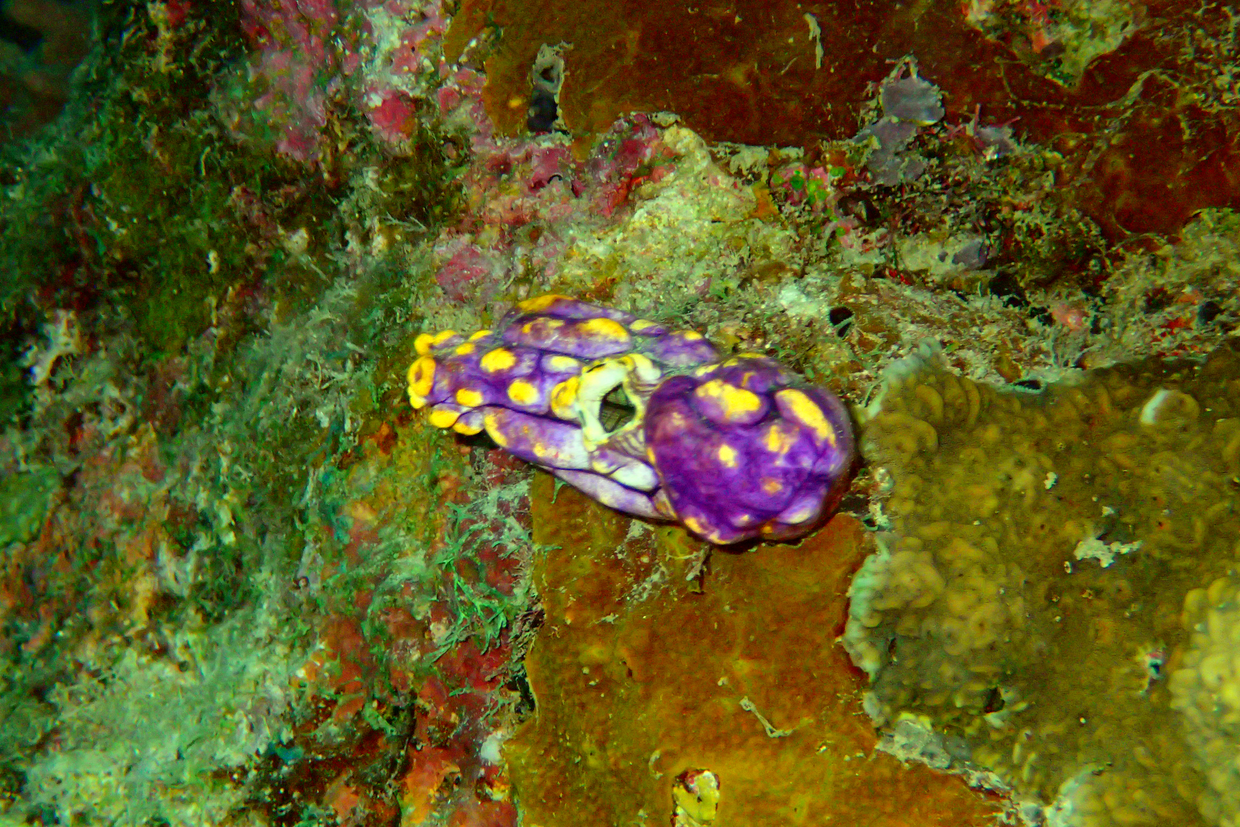 "Sea ""Squirt"" or Tunicate"