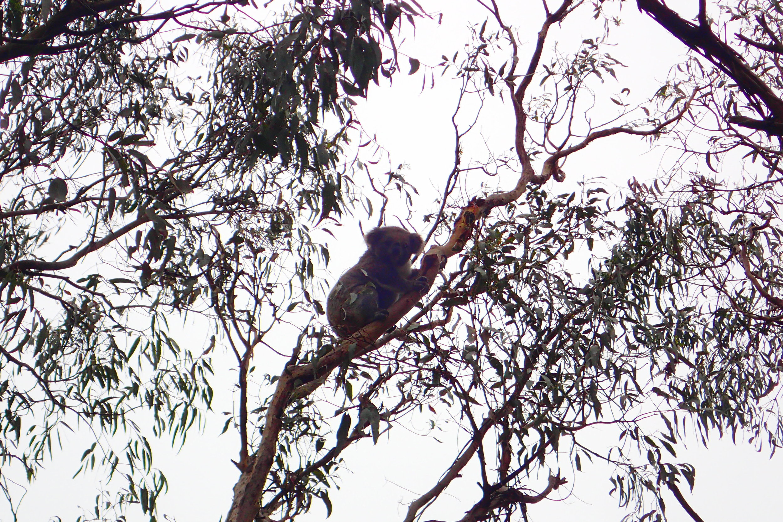 A koala spotted high above in the tree tops at a sanctuary in Australia