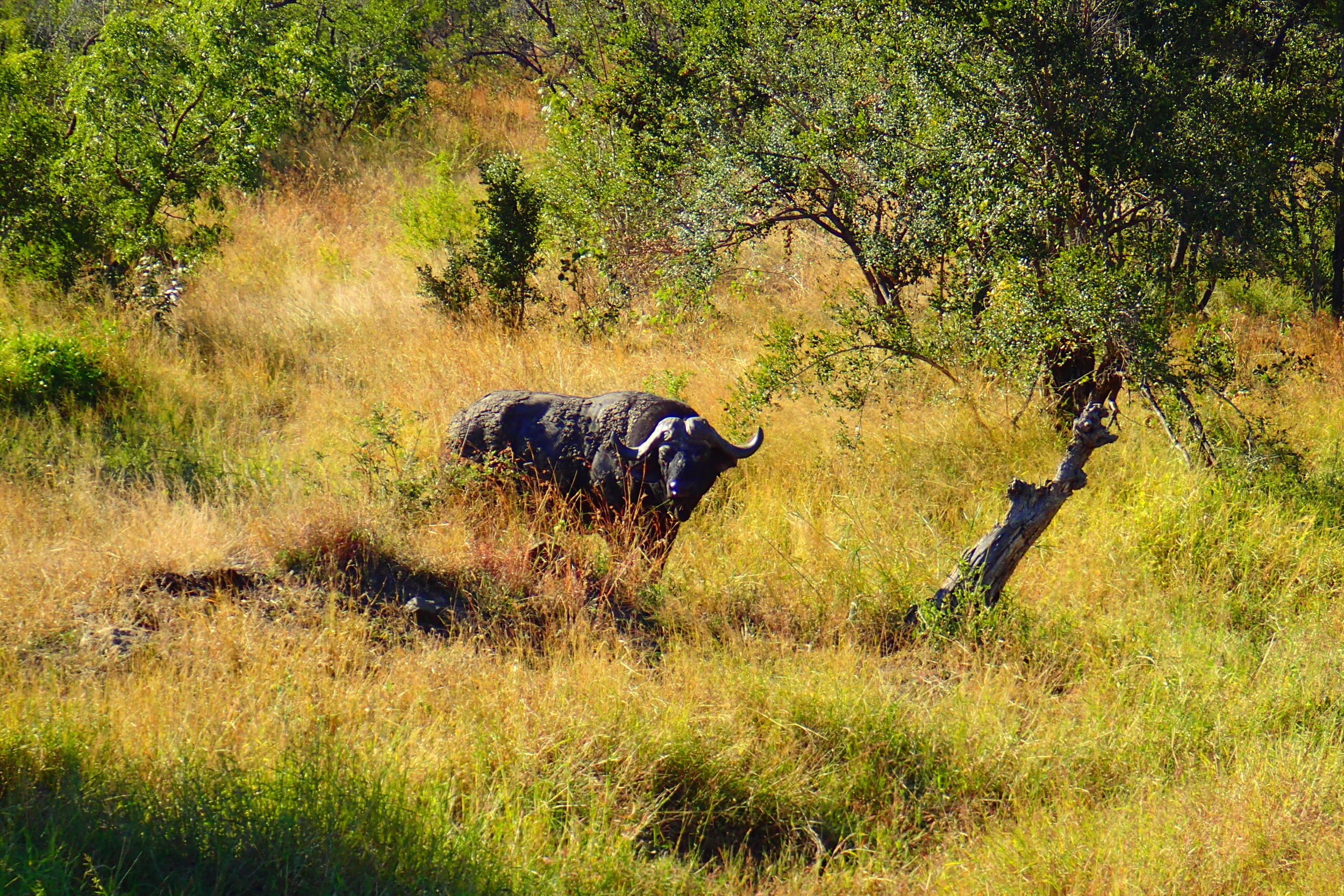 The African Cape Buffalo