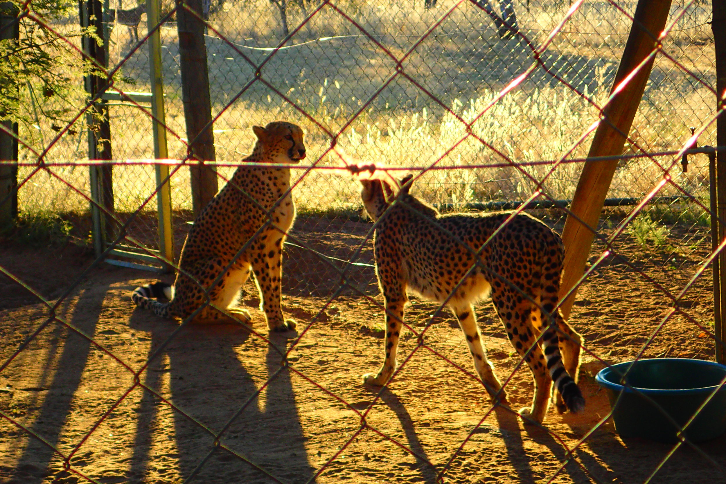 This is a photo I took of wild cheetahs that were rehabilitated but are unable to be released at the Cheetah Conservation Fund in Nambia. They were in this holding pen before being released for exercise into a much larger area.