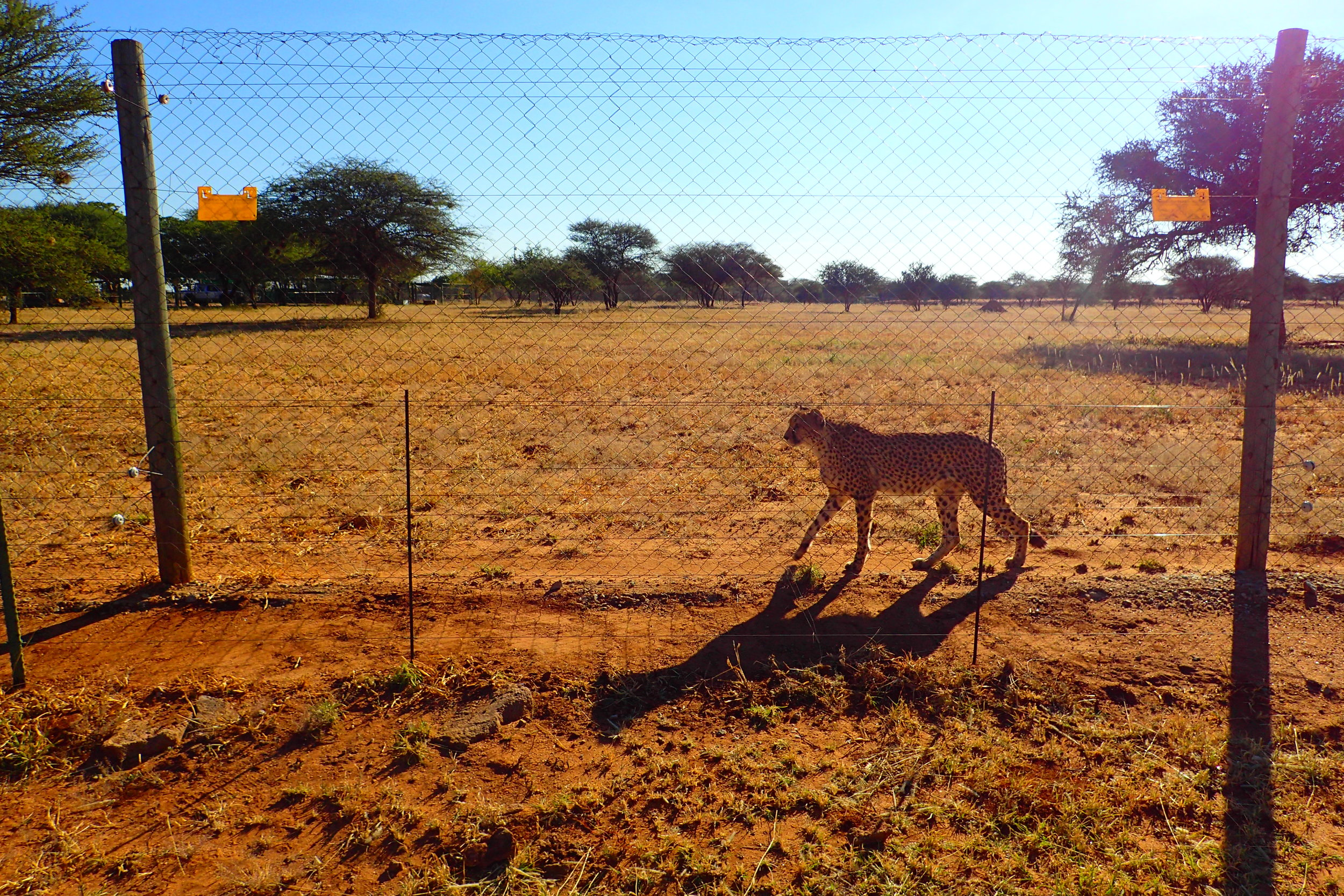A curious cheetah walking the fence at the Cheetah Conservation Fund in Namibia