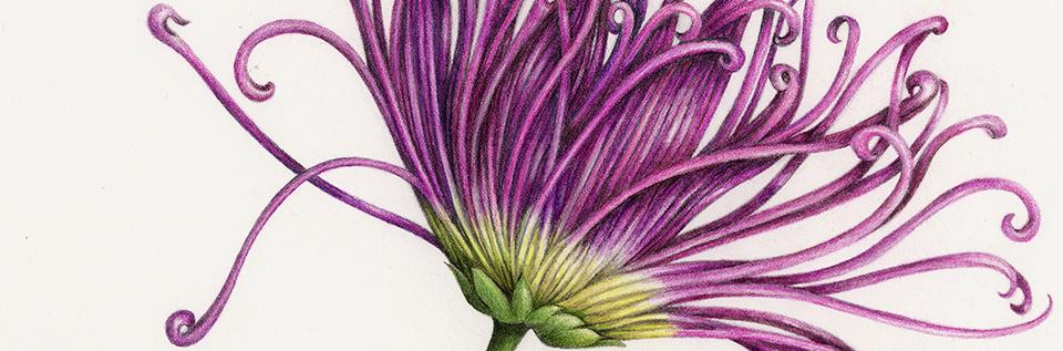 Detail of Chrysanthemum drawing by Wendy Hollender, Botanical Artist