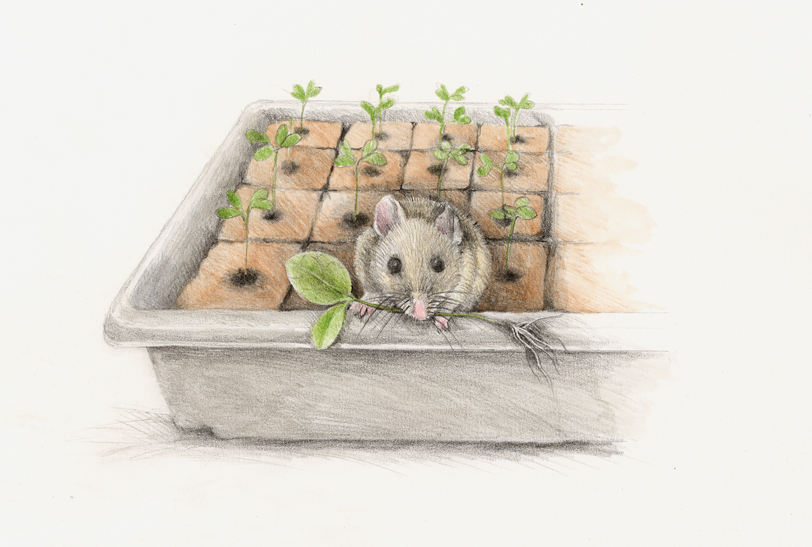 The mouse munches on a new tender seedling