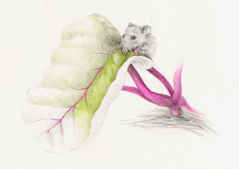 The mouse considers munching on a rainbow swiss chard leaf