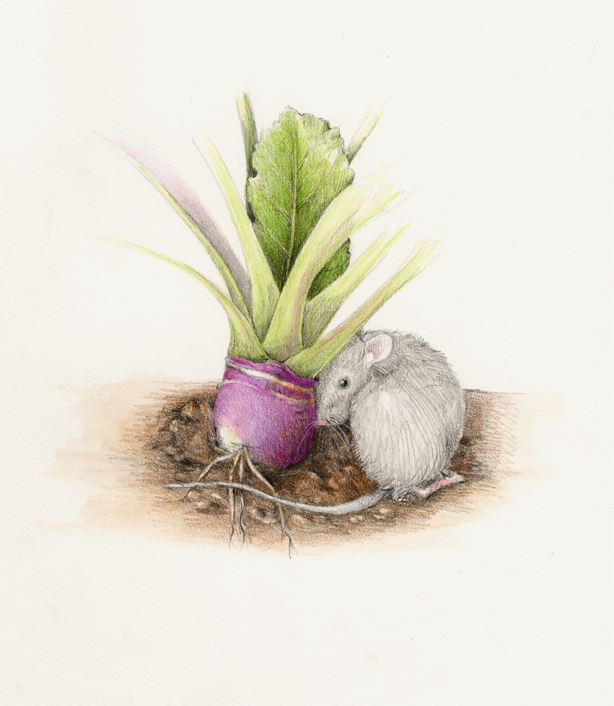 The mouse cuddles up to a rutabaga