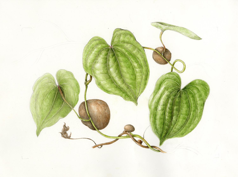 Hoi/Bitter Yam - Dioscorea bulbifera
