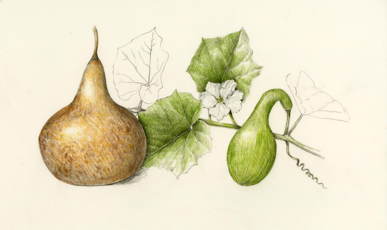 Ipu/Bottle Gourd - Lagenaria siceraria