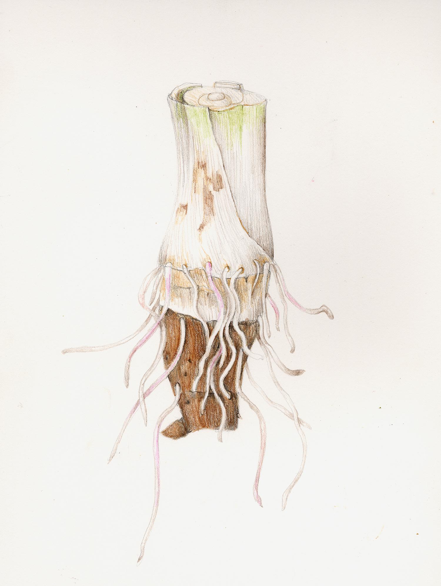 Kalo/Taro Root - Colocasia esculenta