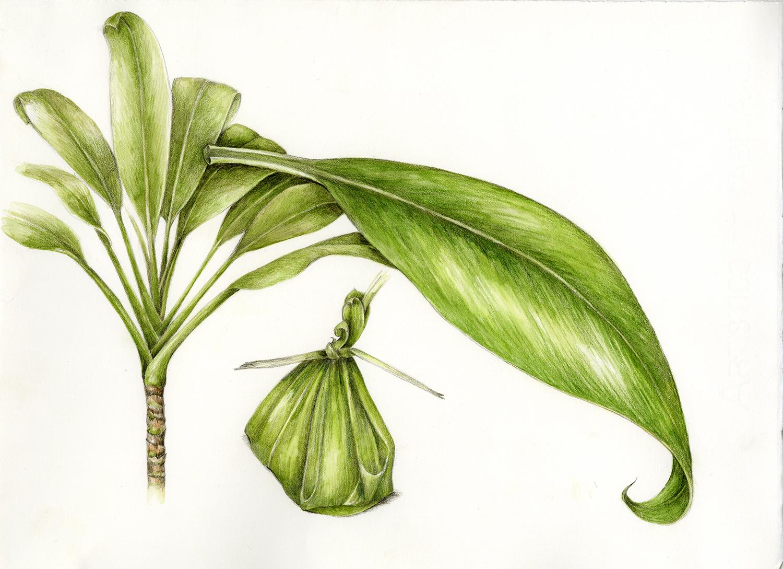 Ki/Ti Leaf - Cordyline fruticosa