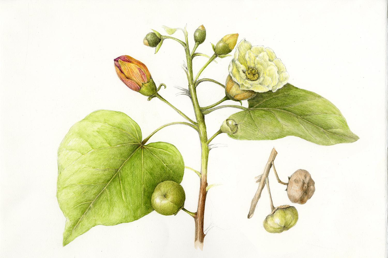 Milo/Portia Tree - Thespesia populnea