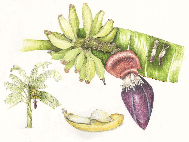 Mai'a/Banana - Musa acuminata
