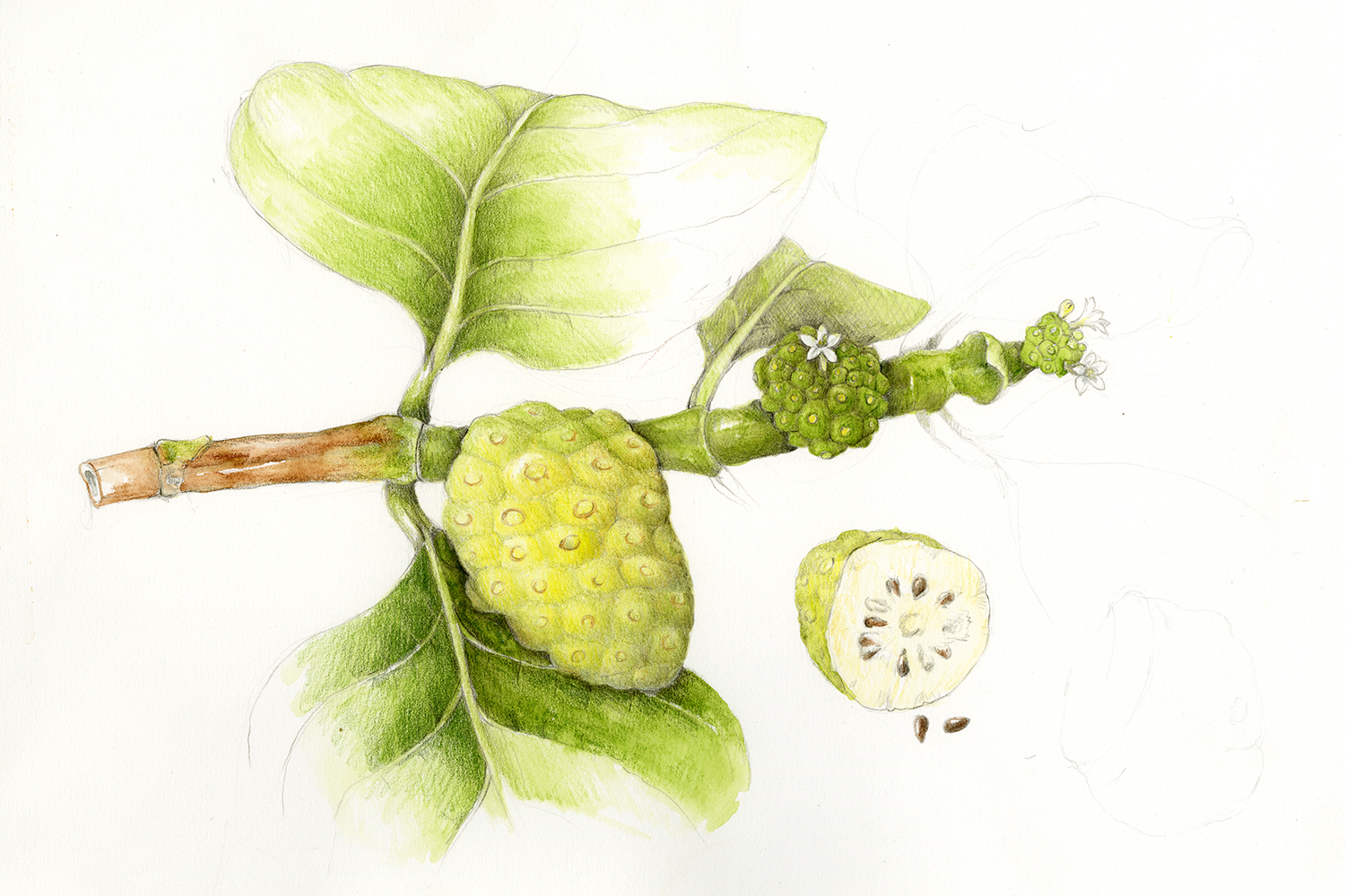 Noni/Indian Mulberry - Morinda citrifolia