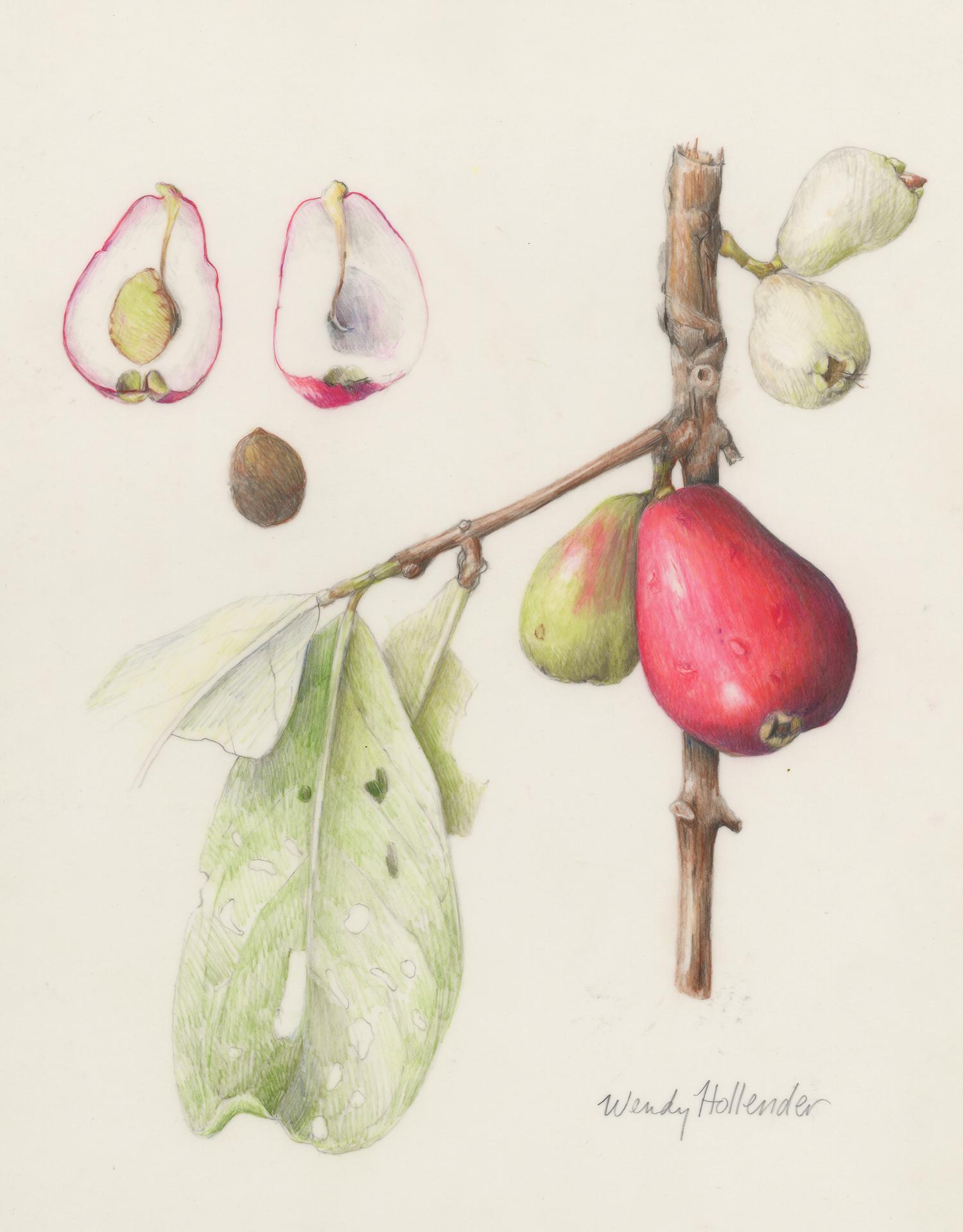 Ohi'a'ai/Mountain Apple - Syzygium malaccense