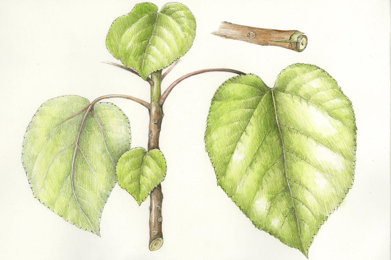 Wauke/Paper Mulberry - Broussonetia papyrifera