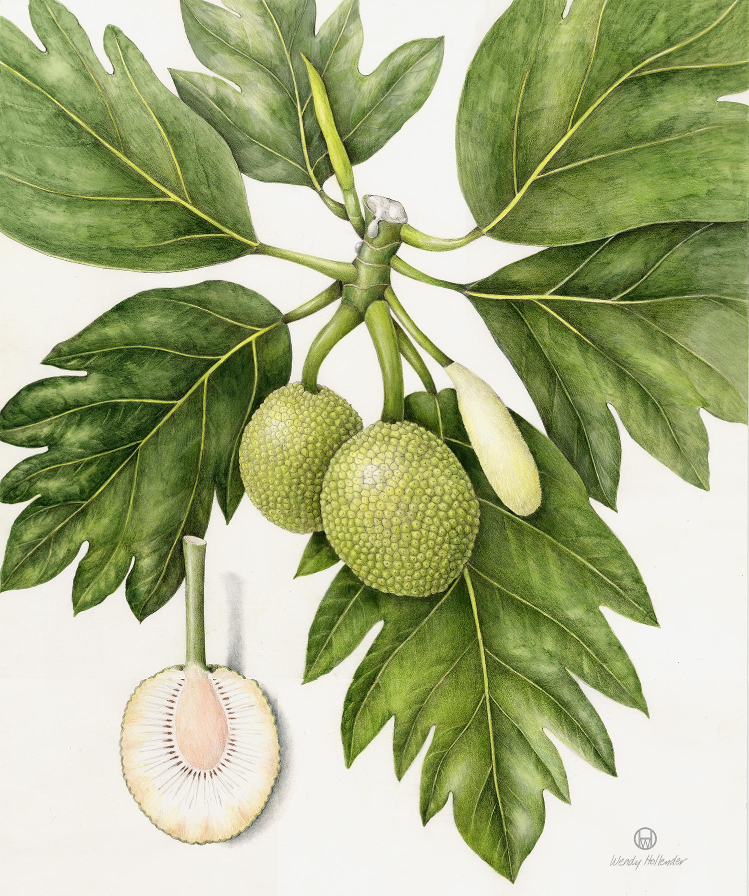 Ulu/Breadfruit - Artocarpus altilis