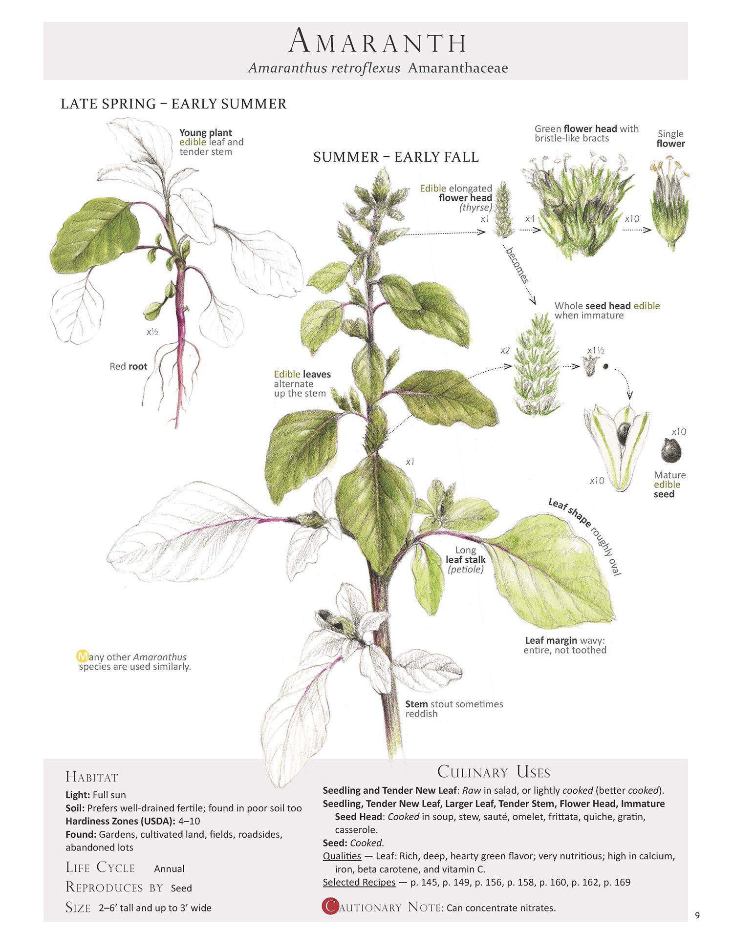 Amaranth - Amaranthus retroflexus