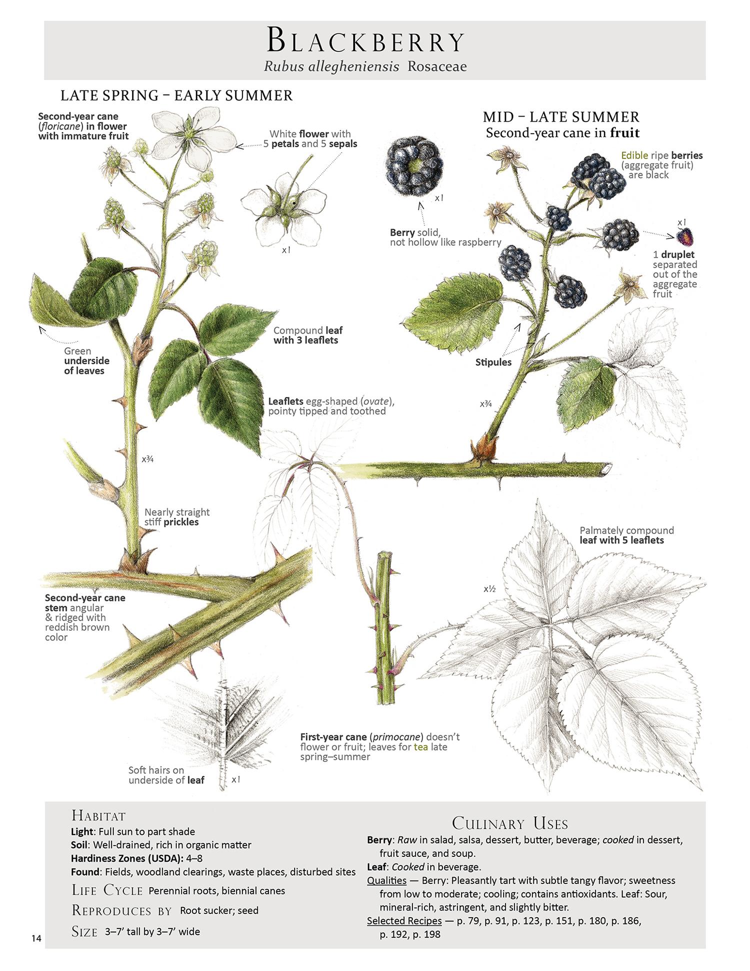 Blackberry - Rubus allegheniensis