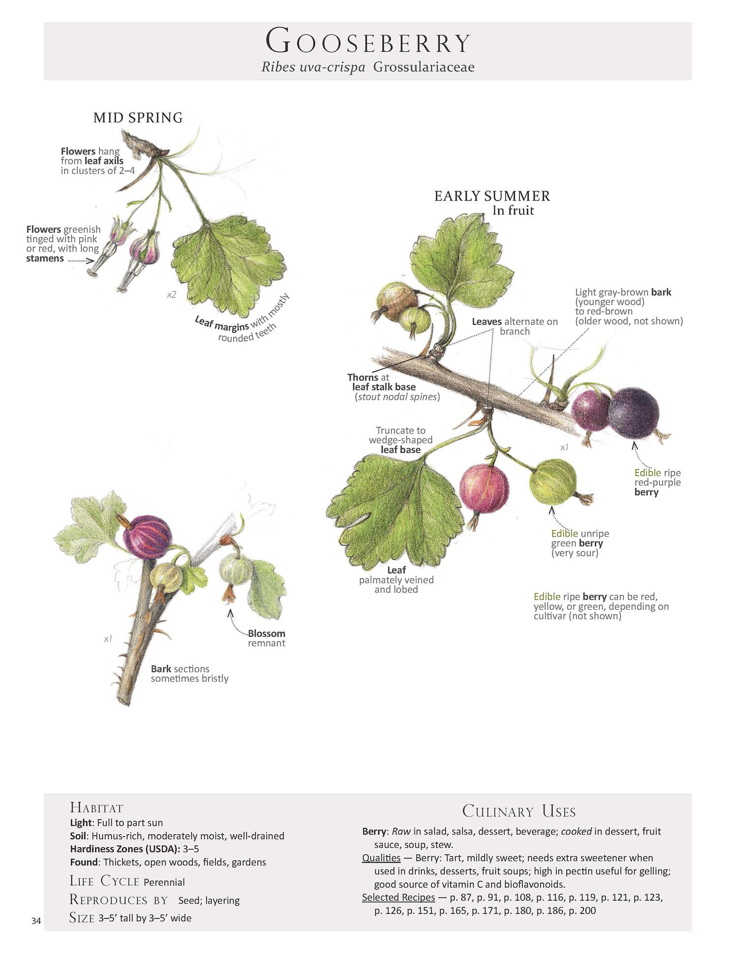 Gooseberry - Ribes uva-crispa