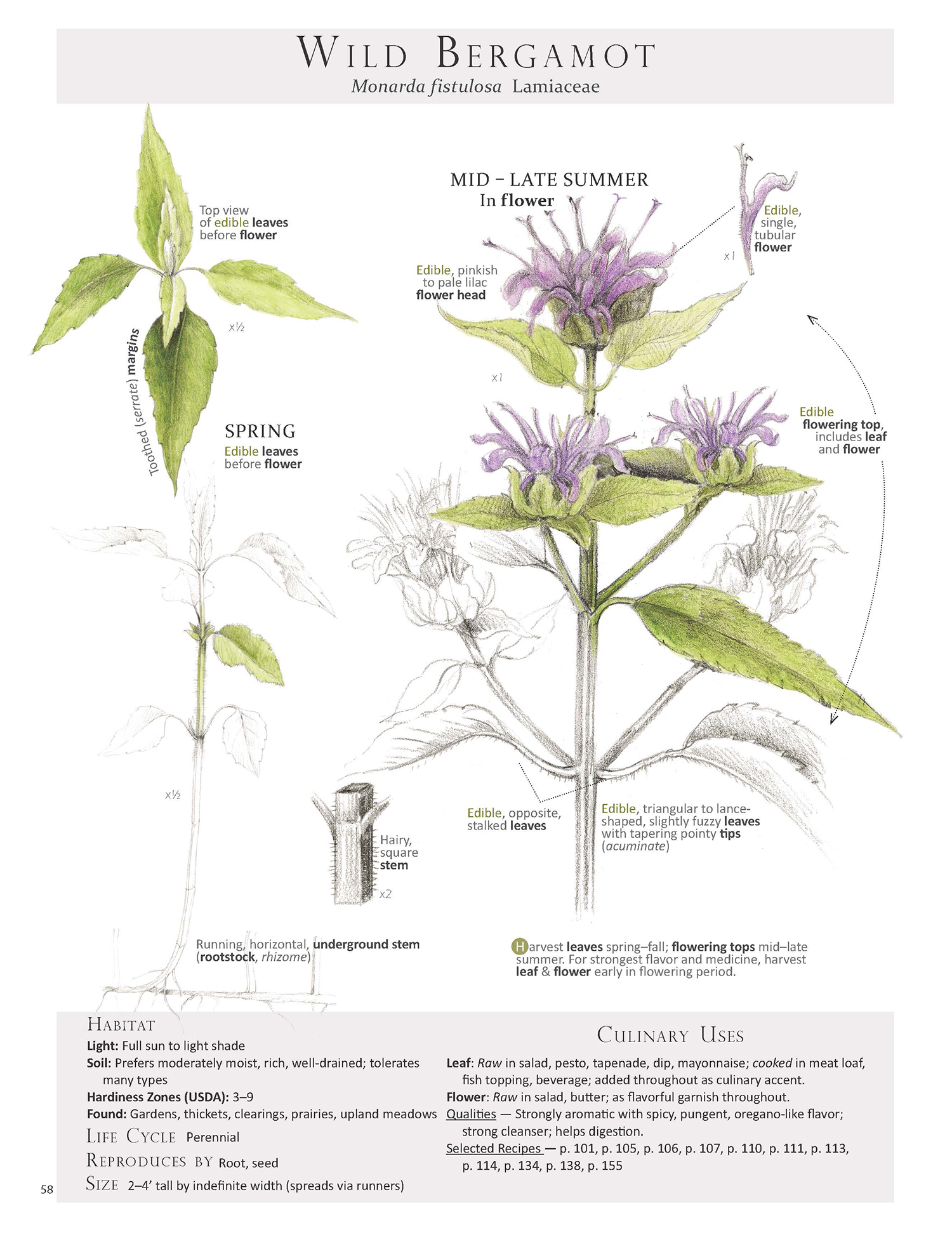 Wild Bergamot - Monarda fistulosa