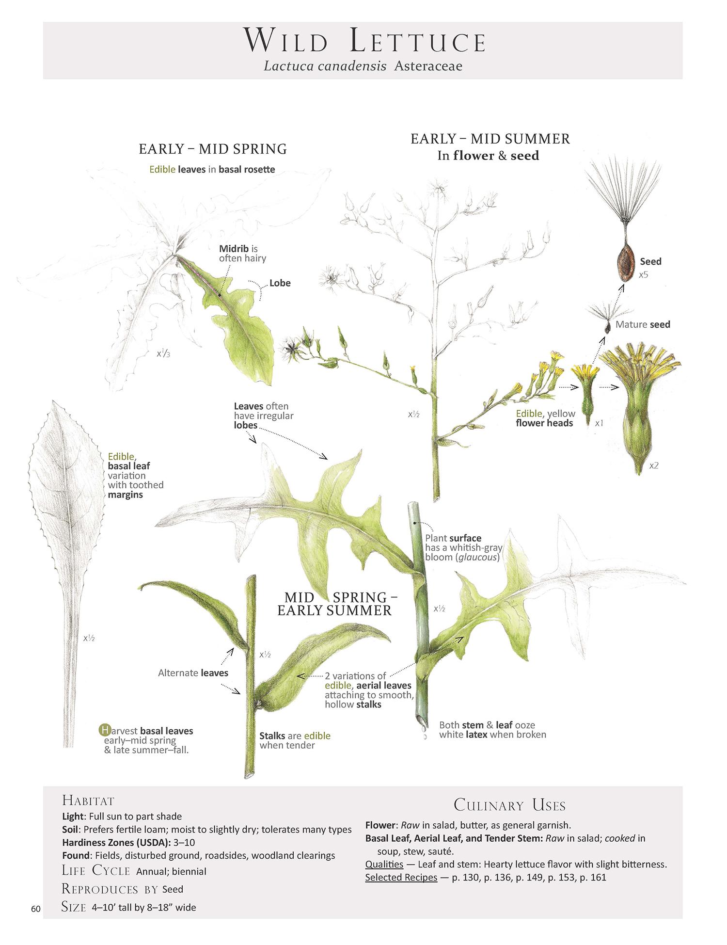 Wild Lettuce - Lactuca canadensis