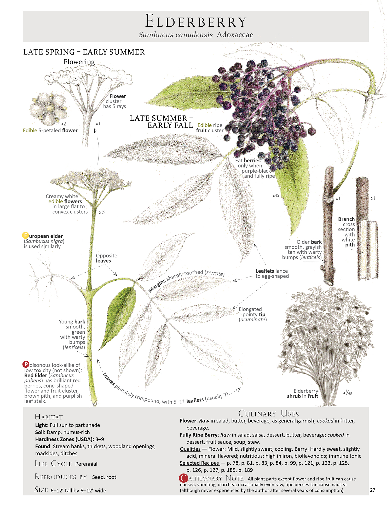 Elderberry - Sambucus canadensis