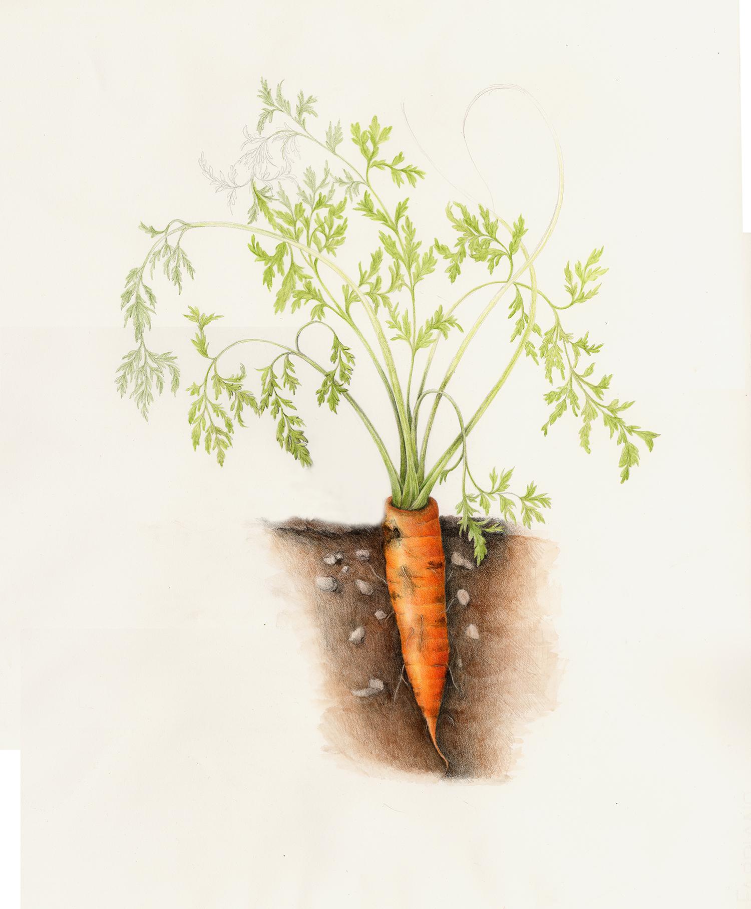 Carrot - Daucus carota