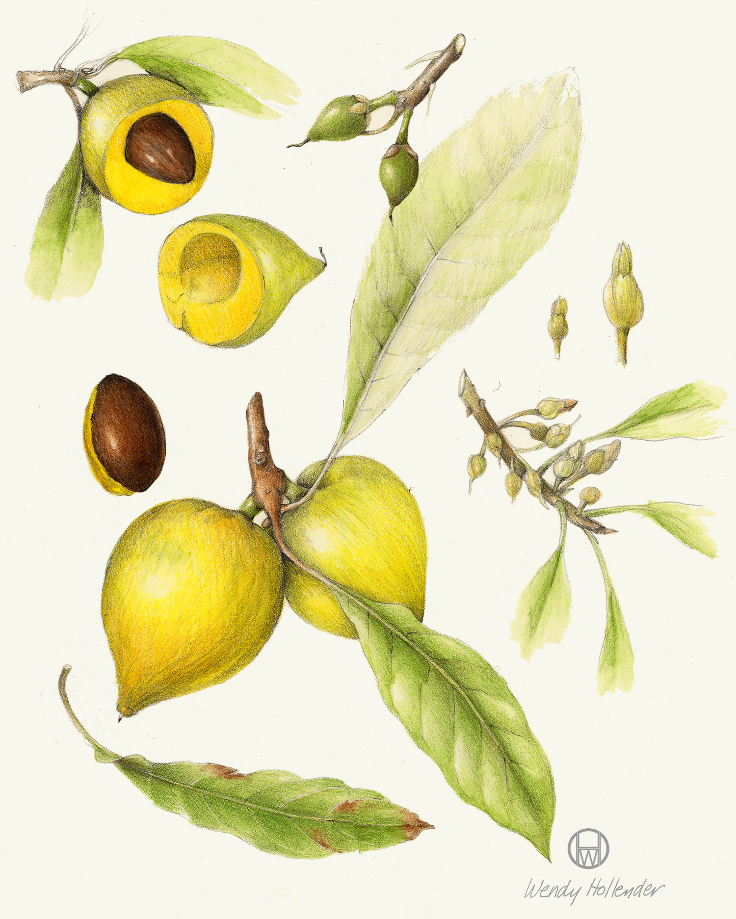 Eggfruit - Pouteria