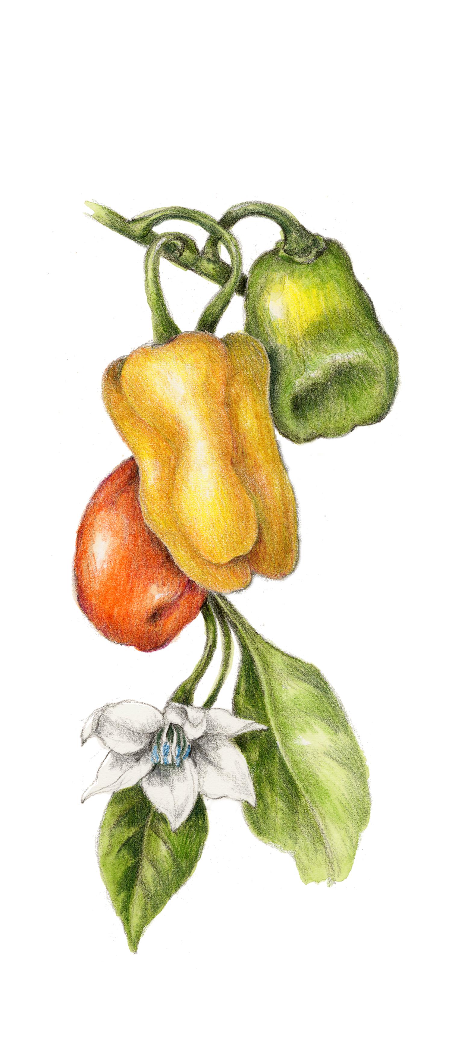 Habanero Pepper - Capsicum chinense