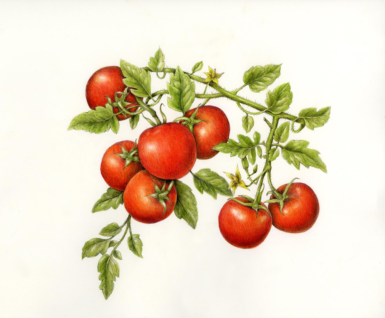 Tomato - Solanum lycopersicum
