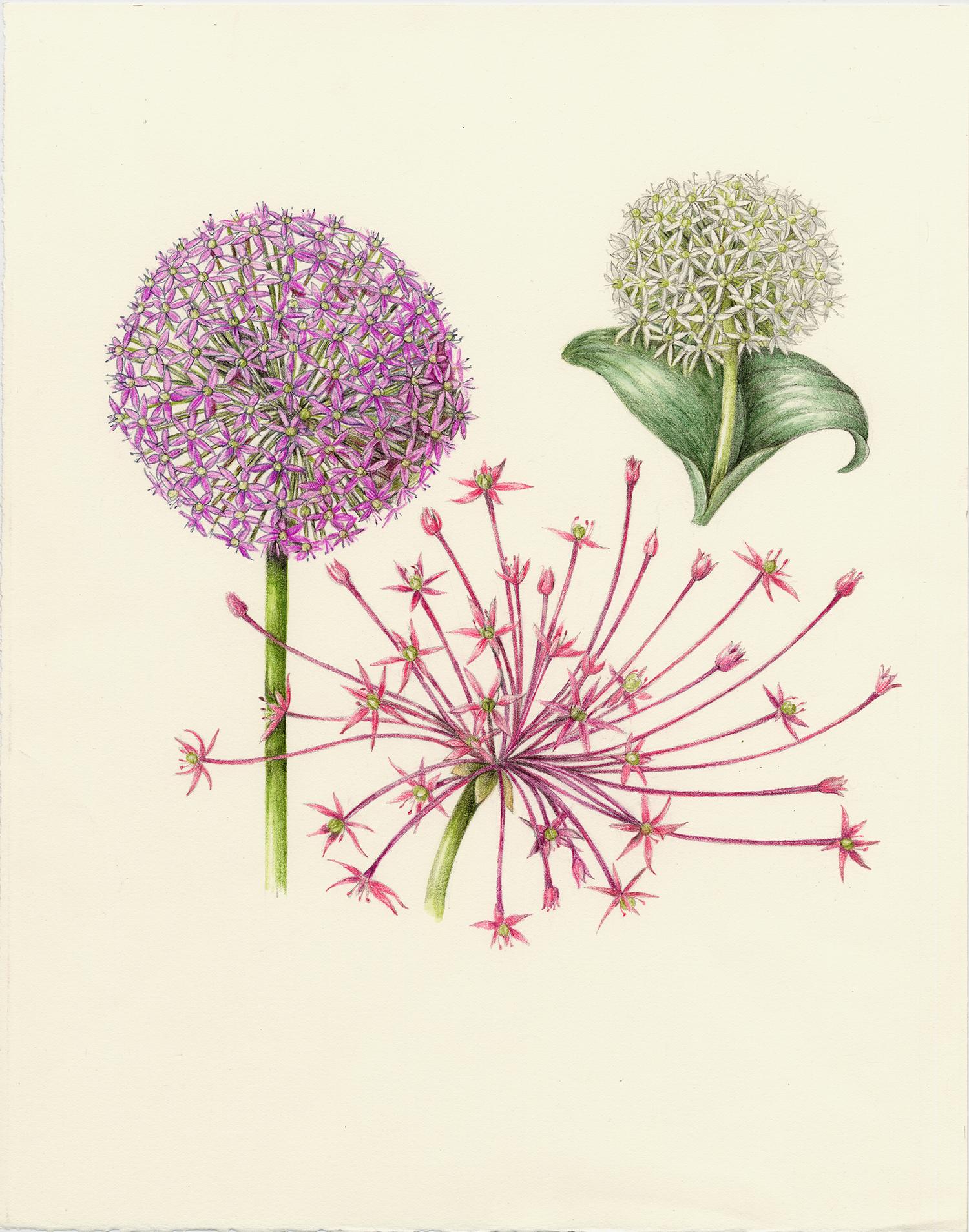 Allium - Allium