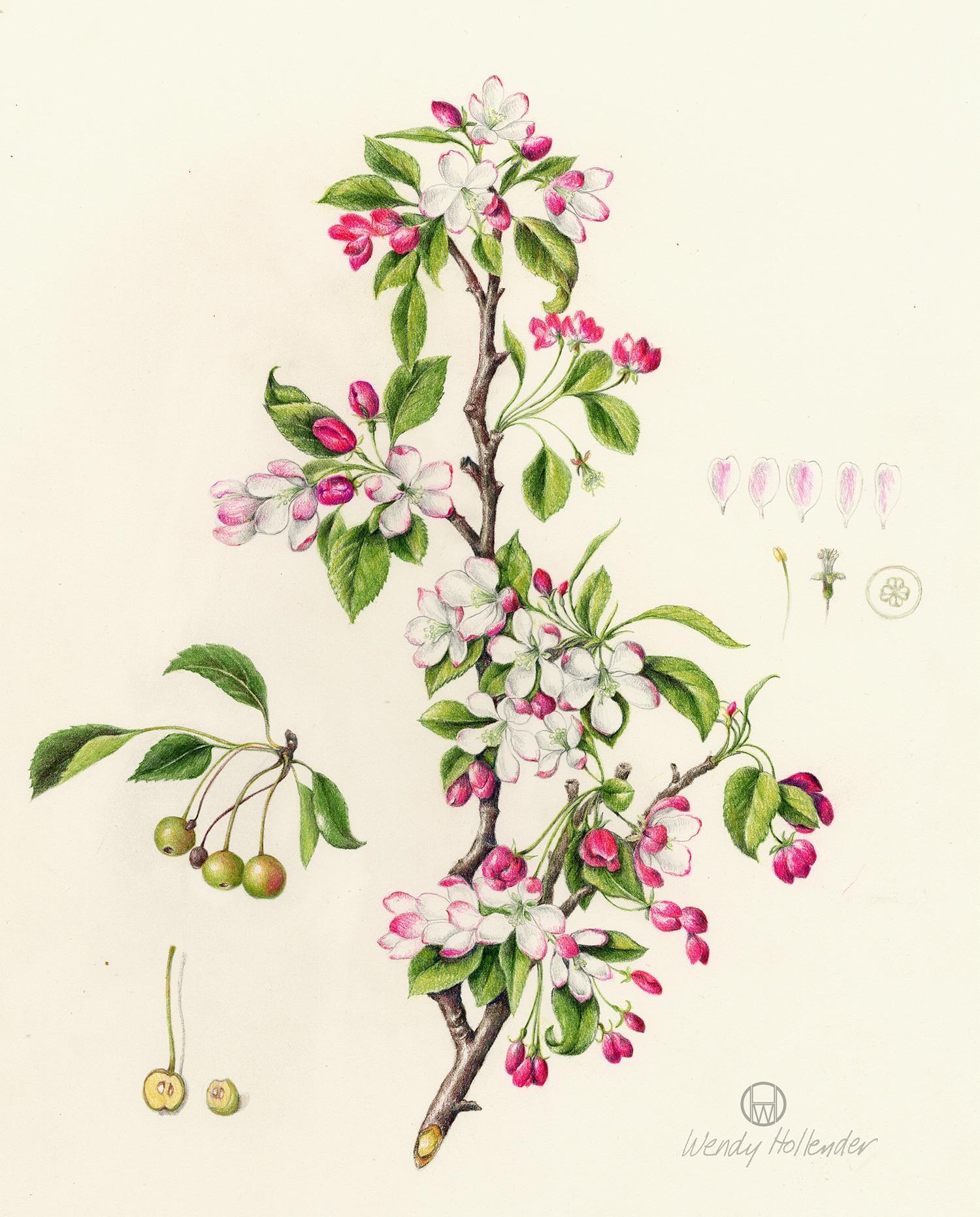 Crab Apple - Malus floribunda