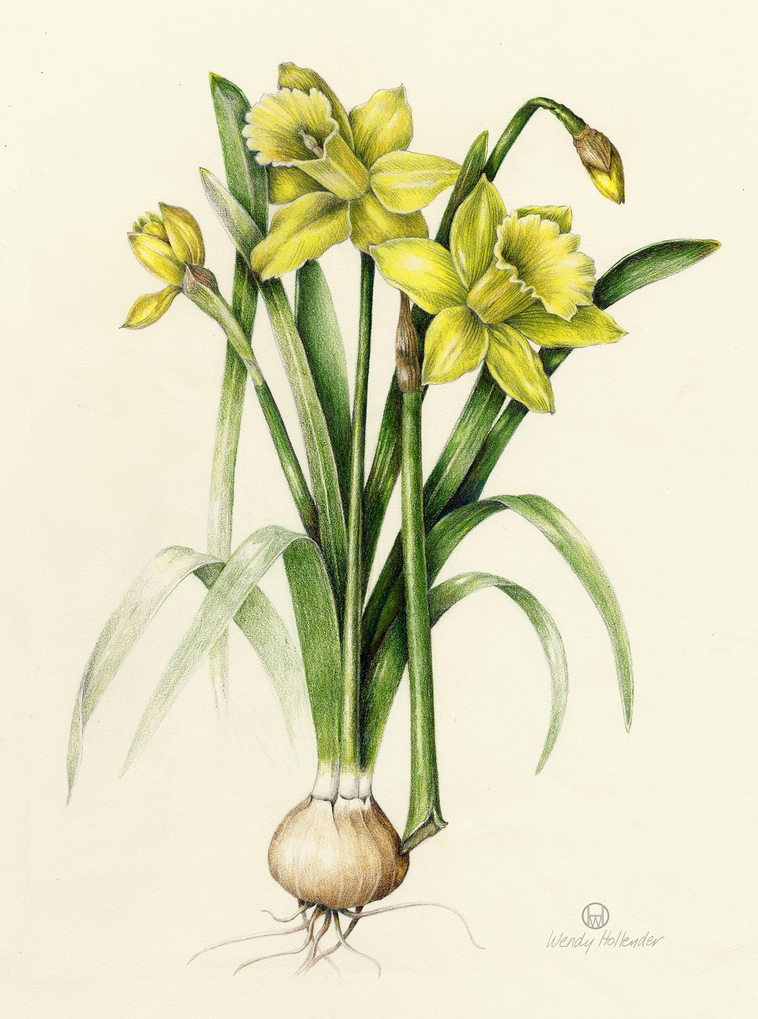Daffodil - Narcissus