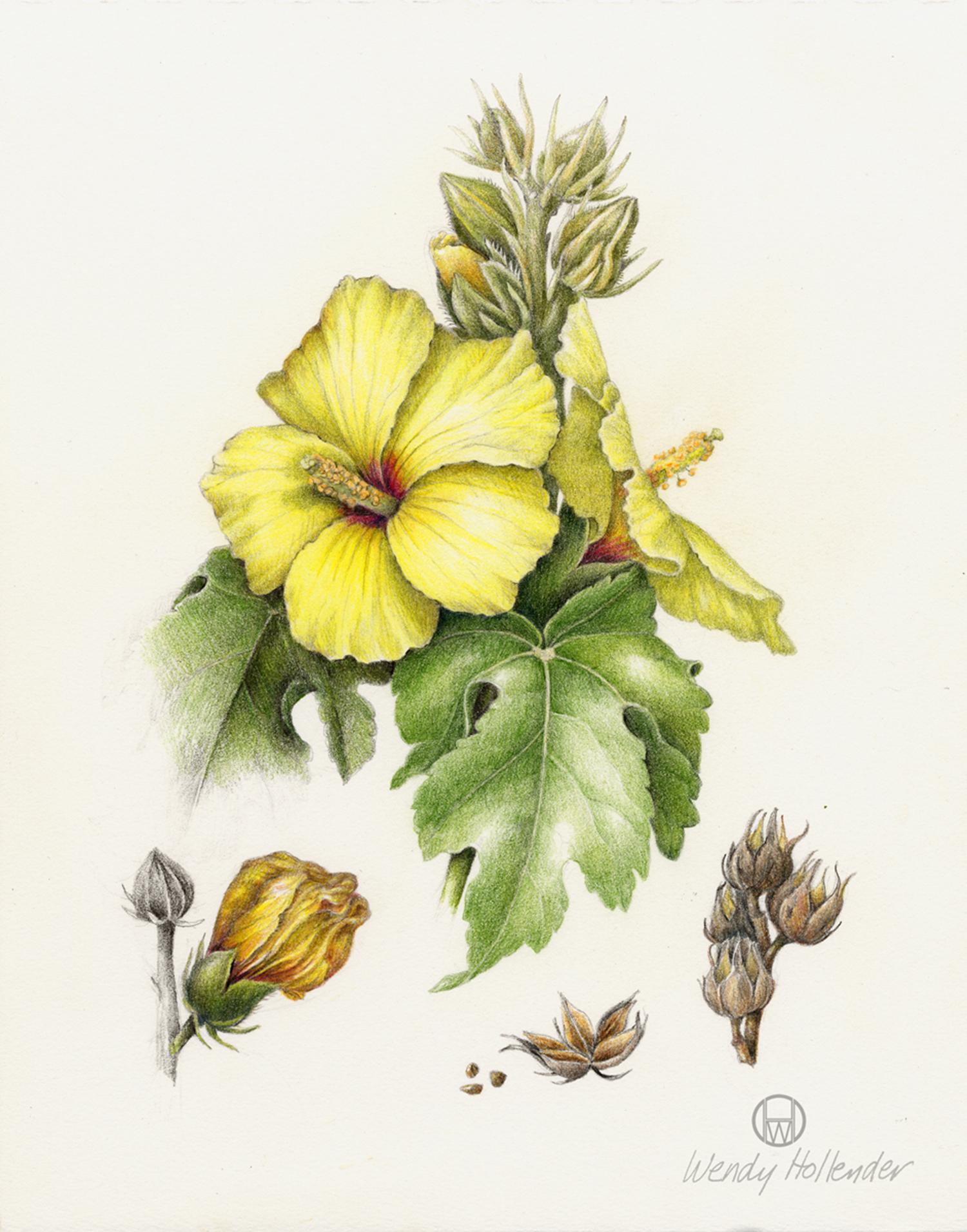 Hibiscus Ma'o hau hele - Hibiscus breckenridgei