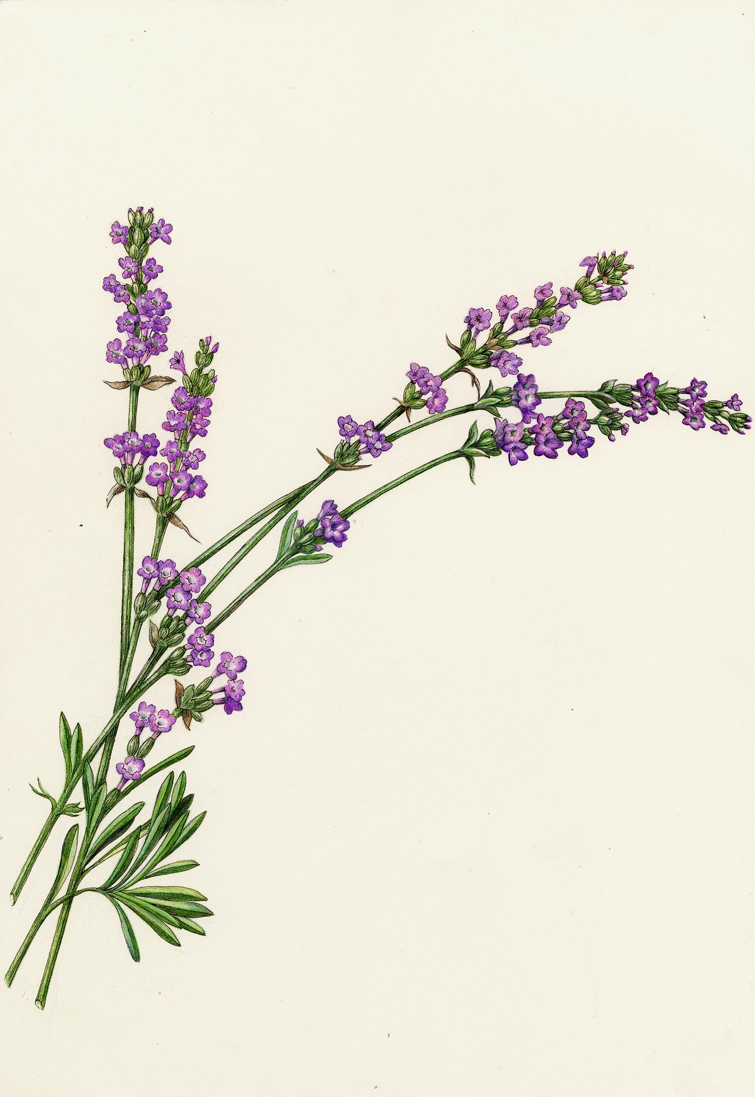 Lavender - Lavandula