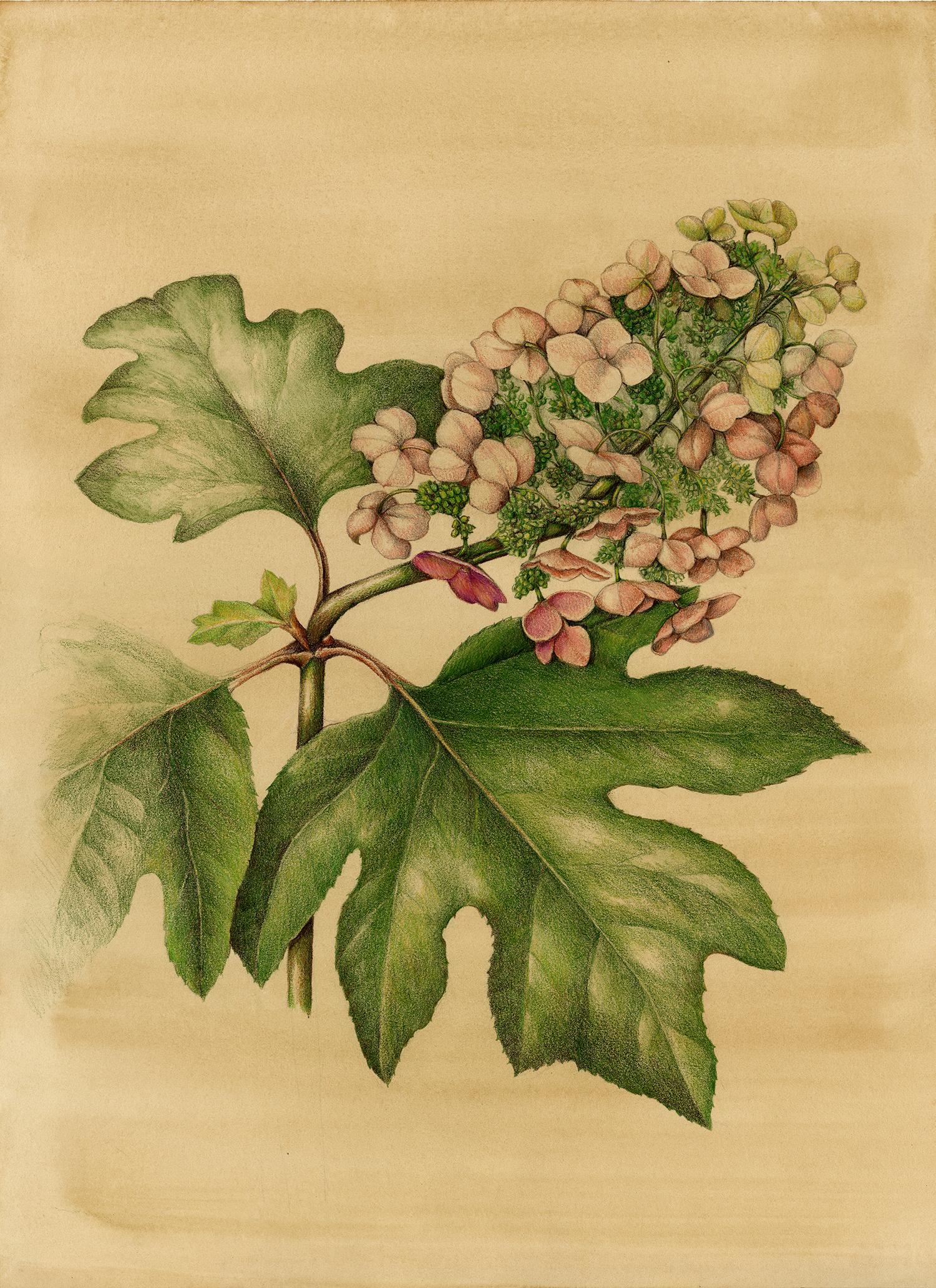 Oak Leaf Hydrangea - Hydrangea quercifolia