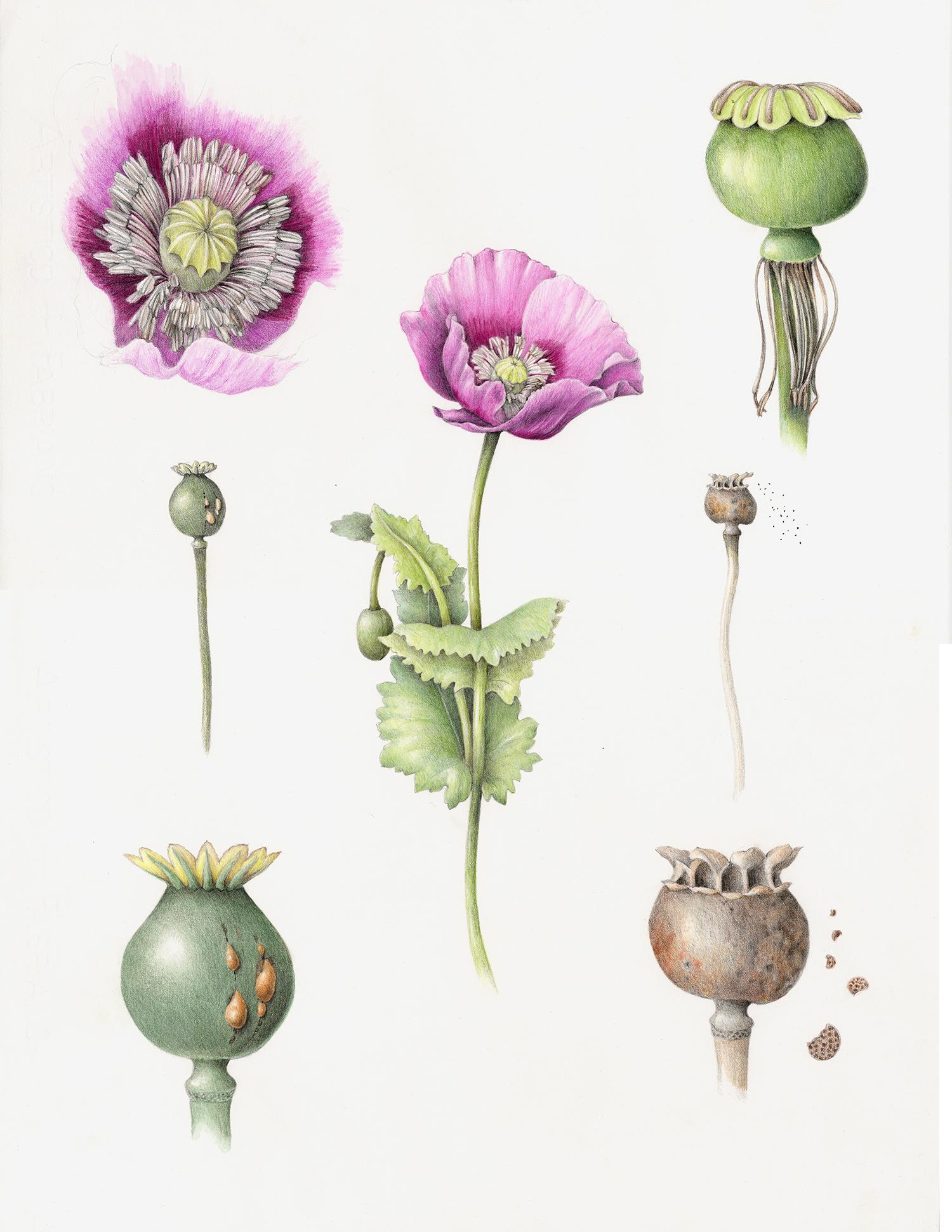 Poppy - Papaver somniferum