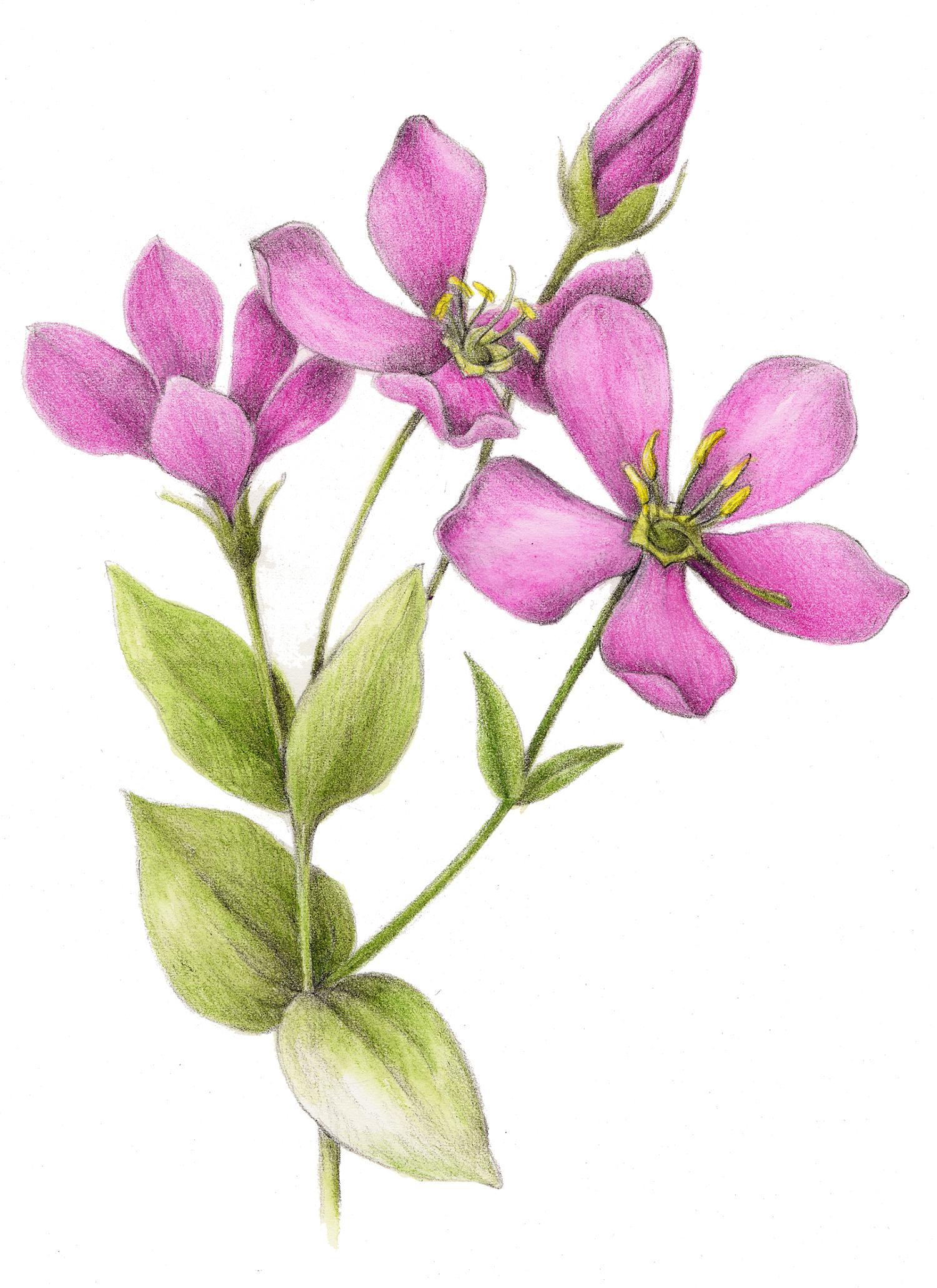 Rose Pink - Sabatia angluaris